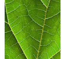 Leaf Veins by Tim McGuire