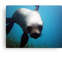 Playful Seal  Canvas Print