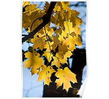 Backlit Yellow Maple Leaves Poster