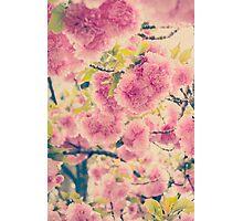 Dreamy Pink Pompom Blossoms of Yaezakura Cherry Photographic Print