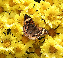 Bright Autumn - Common Buckeye 3 by WalnutHill