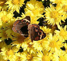 Bright Autumn - Common Buckeye 1 by WalnutHill