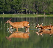 Whitetail Deer and Twin Fawns by Daniel Cadieux
