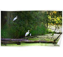 Morning Pond Egrets Poster