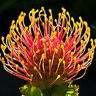 Pincushion Protea by Samantha Bailey
