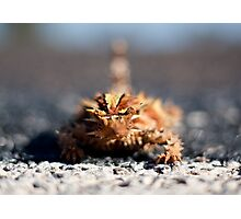 Thorny Devil (Moloch horridus) Photographic Print