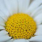 Daisy by PhotoLouis