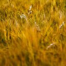 Fields of Gold by PhotoLouis