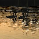 Swans in Silhouette by Sea-Change