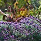 Lavender Fields by KathyT