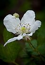 """Wild Blackberry Bloom"" by Heather Thorning"