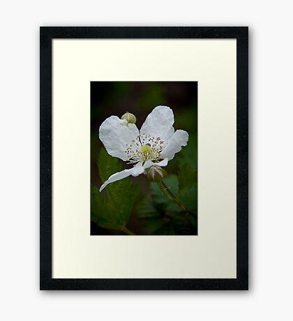 """""""Wild Blackberry Bloom"""" Framed Print"""