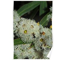 Eucalyptus flowers with visitor Poster