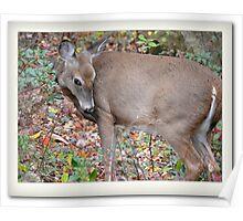Coy Deer Poster