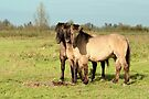 Three Boys - Konik Horse by Jo Nijenhuis