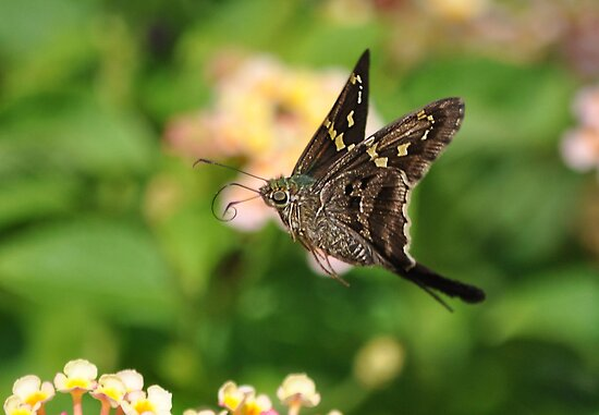 A Green Skipper In Mid Flight by Kathy Baccari