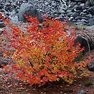 Burning Bush by Payne24