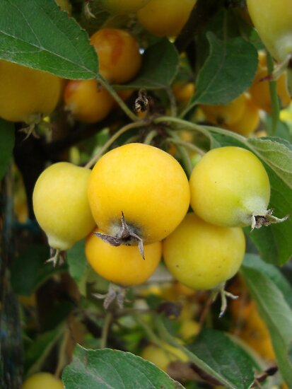 Yellow Crab Apples by ukquilter