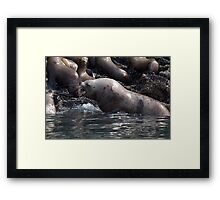 Bull Moose Sea Lion, Juneau, Alaska Framed Print