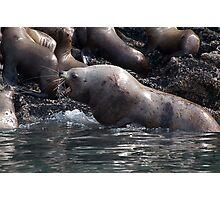 Bull Moose Sea Lion, Juneau, Alaska Photographic Print