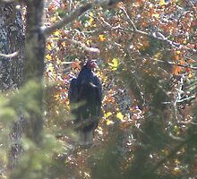 Turkey Vulture by Rick  Friedle
