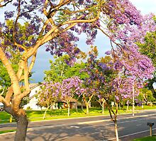 Jacarandas in Bloom by Christine Chase Cooper