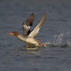 Common Merganser Running Take-off - Ottawa, Ontario by Stephen Stephen