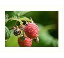 One raspberry Art Print
