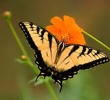 """Tiger swallowtail """"3"""" by Marcus Baker"""