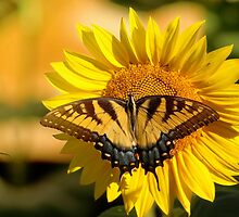 Tiger Swallowtail on Sunflower by Marcus Baker