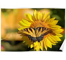 Tiger Swallowtail on Sunflower Poster