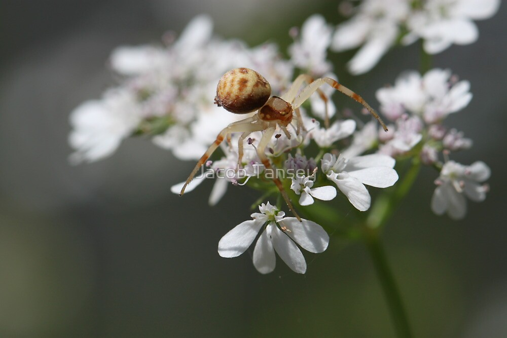 Spider by Jacob Tansey