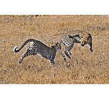 Young Female Leopards Playing Photographic Print