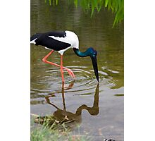 Tip Toe - jabiru  Photographic Print