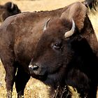 Bison by Betsy  Seeton