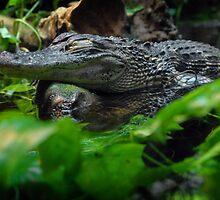 Gator by Amanda Jordan