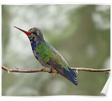 Broad-billed Hummingbird Poster