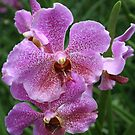 Orchid by Robyn Selem