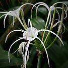 Spider Orchid by Robyn Selem