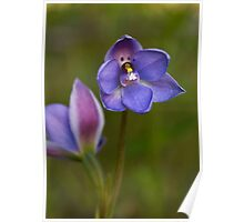 Thelymitra juncifolia Rush-leaf Sun-orchid Poster