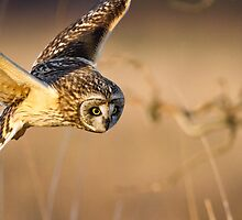 Motion Detected -- Short-eared Owl by Tom Talbott