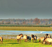 A HERD OF KONIKS AT NATURE RESERVE THE OOSTVAARDERS PLASSEN by Johan  Nijenhuis