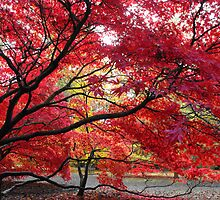 Acer beauty by Anita Hunt