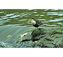 Adult Dipper Photographic Print