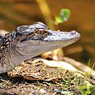 Little Gator (Alligator, mississipiensis) by Jeff Ore