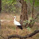 White stork  by GrahamCSmith
