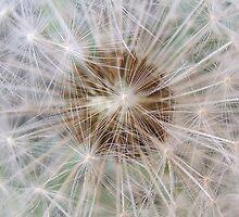 Dandelion by Stuart  Noall