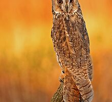 The Golden Hour Owl by Mark Hughes