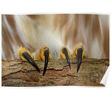 Northern Saw-whet Owl Talons Poster