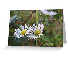 Bitter Fleabane Greeting Card
